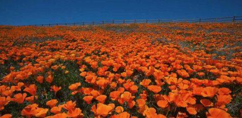 Vibrant orange poppies. Photo from: Visit California
